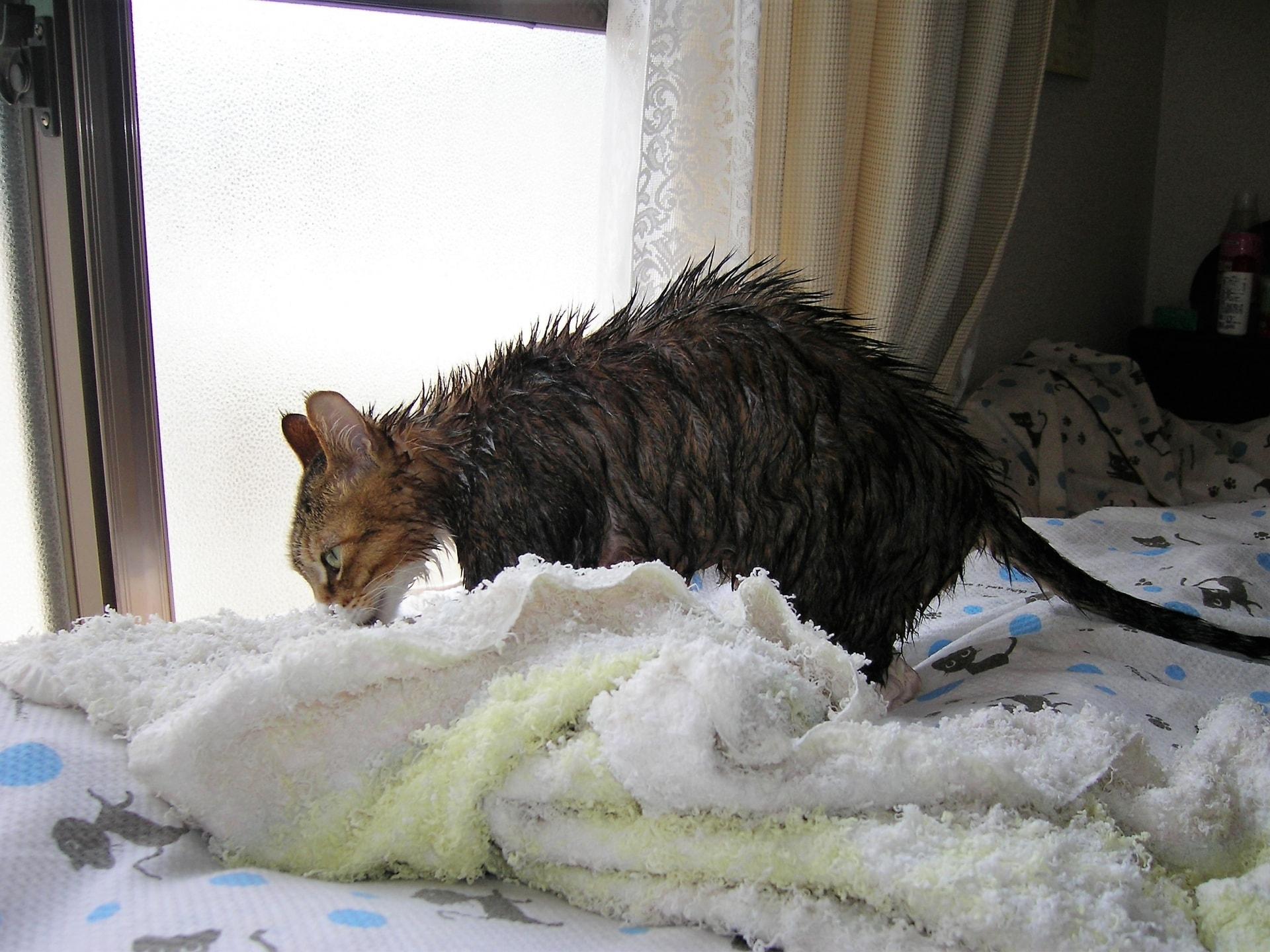 猫ちゃんのシャンプーをする必要性